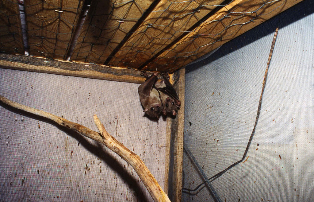 Two Egyptian fruit bats owned by an exotic pet collector. They spent 10 miserable years in this cage before they were finally rescued.
